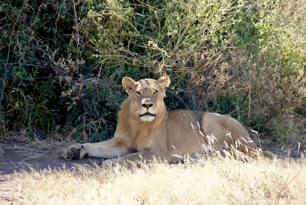 Lion at Rest, Chobe National Park