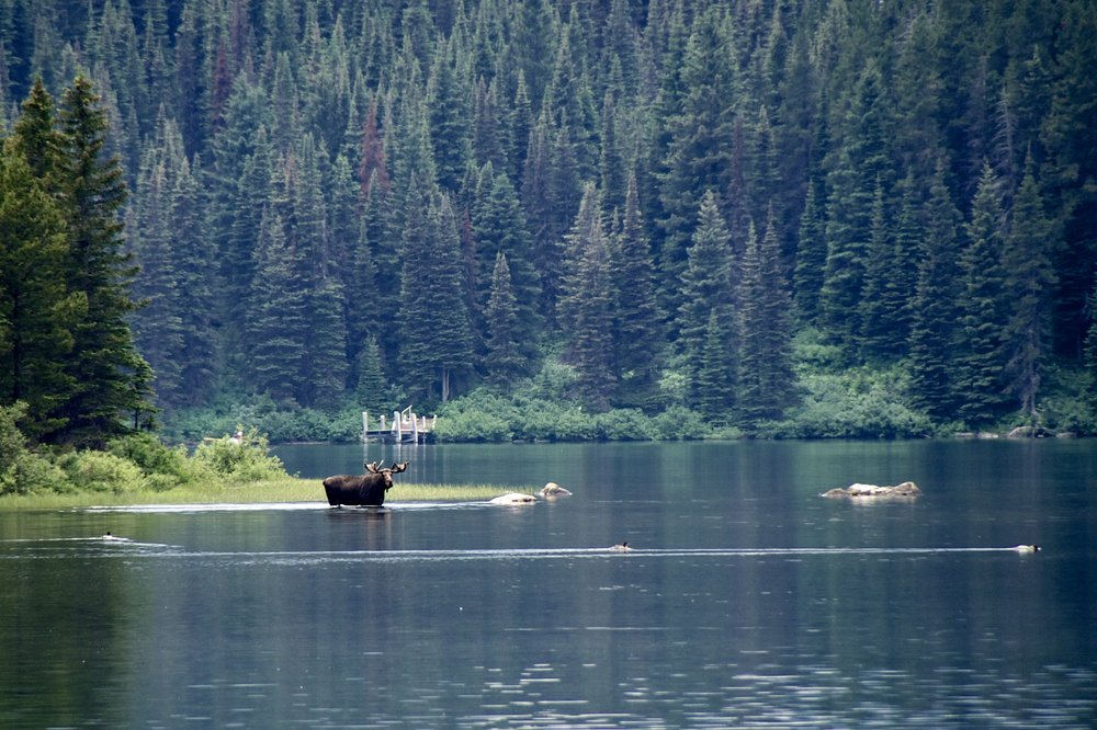 A moose on Lake Josephine in Glacier National Park