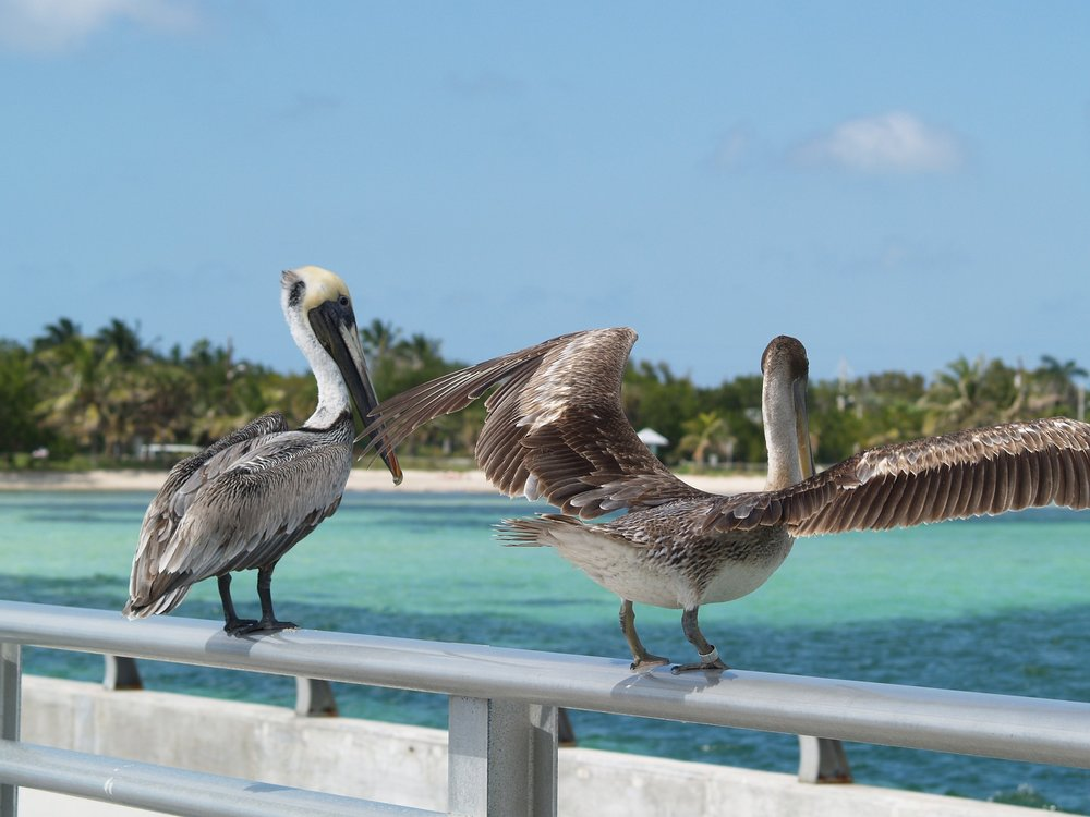brown-pelicans-1231785_1920.jpg