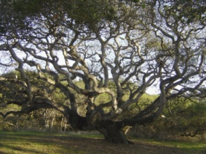 California Live Oak photo from Wikipedia (public domain granted)