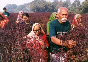 23_Kailashnath_Singh_and_family_harvesting_Krishna_Tulsi_Azamgarh