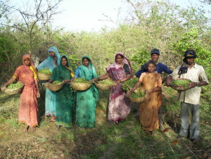 13_Tribal_wildcrafters_harvesting_Brahmi_in_certified_forests
