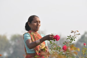 18_Plucking_roses_for_our_100__natural_flavors__Tulsi_Sweet_Rose_Tea