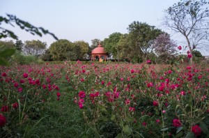 37_Brindavan_Farm_Durga_Temple_from_rose_fields