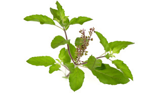 07_Tulsi_white_background_with_seeds