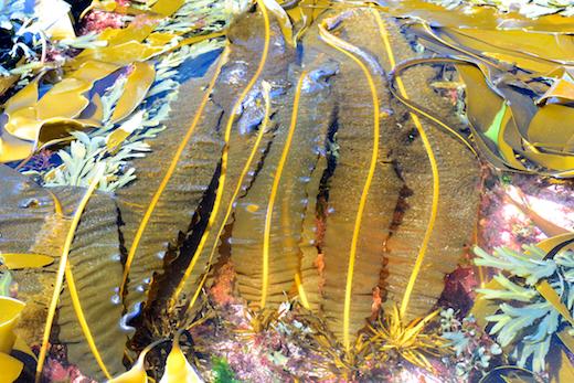 art-misc-alaria esculenta seaweed.png