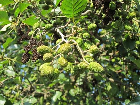 tree alder 2.jpg