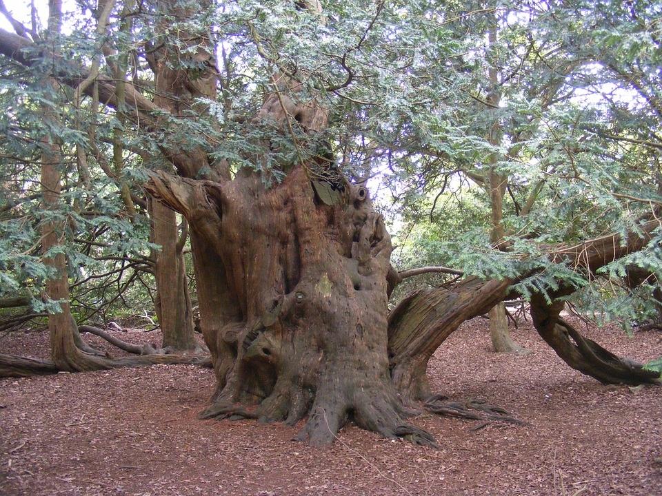 tree yew.jpg