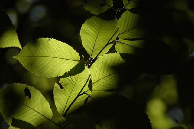 Black birch leaves