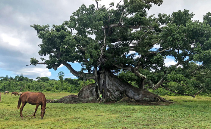 Ceiba Tree with Wild Horse