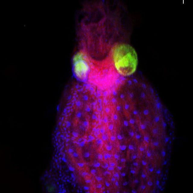Fluorescence microscope = magic!Gut symbionts (green) of a leaf beetle packed in their specialized organ.