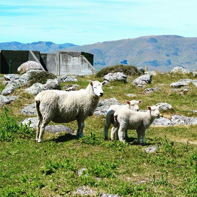 Lambs of Lytteltown #NZFieldwork