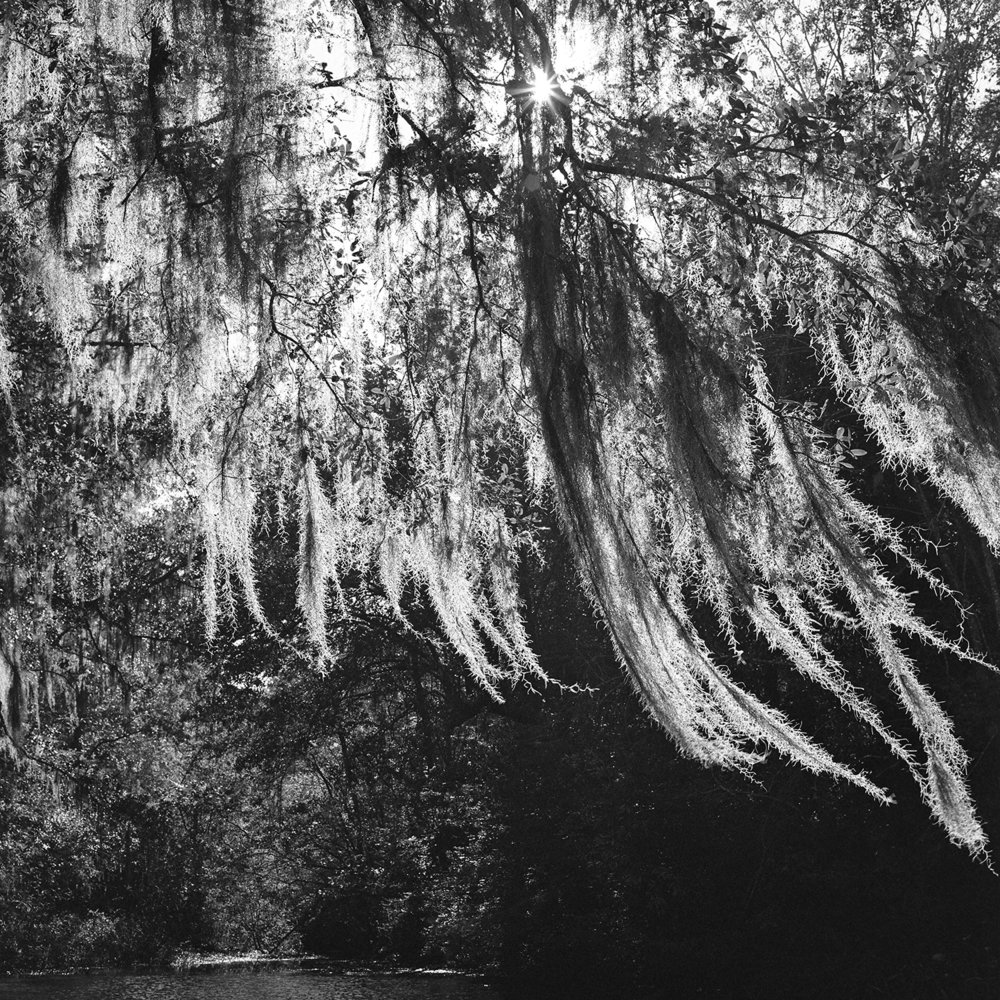 Willow in the Morning Wind   Charleston, SC    120mm, Archival Inkjet 15x15in