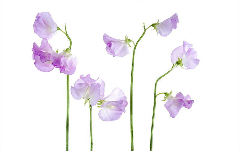high key sweet peas.jpg
