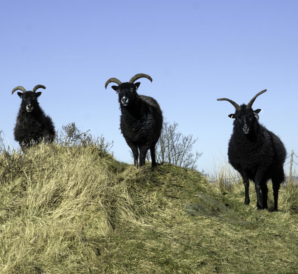 SHEEP 1 .jpg