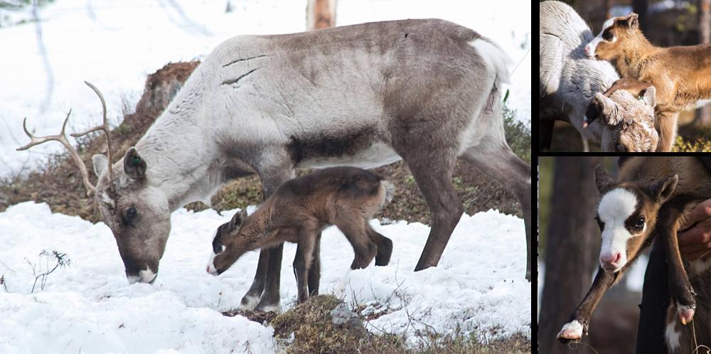 Reima-Reindeer.png