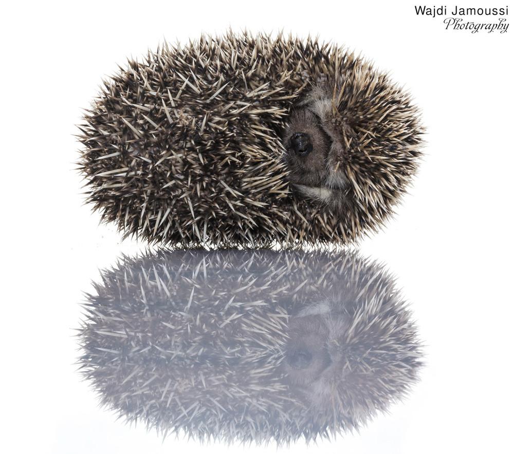 Hedgehog_1.jpg