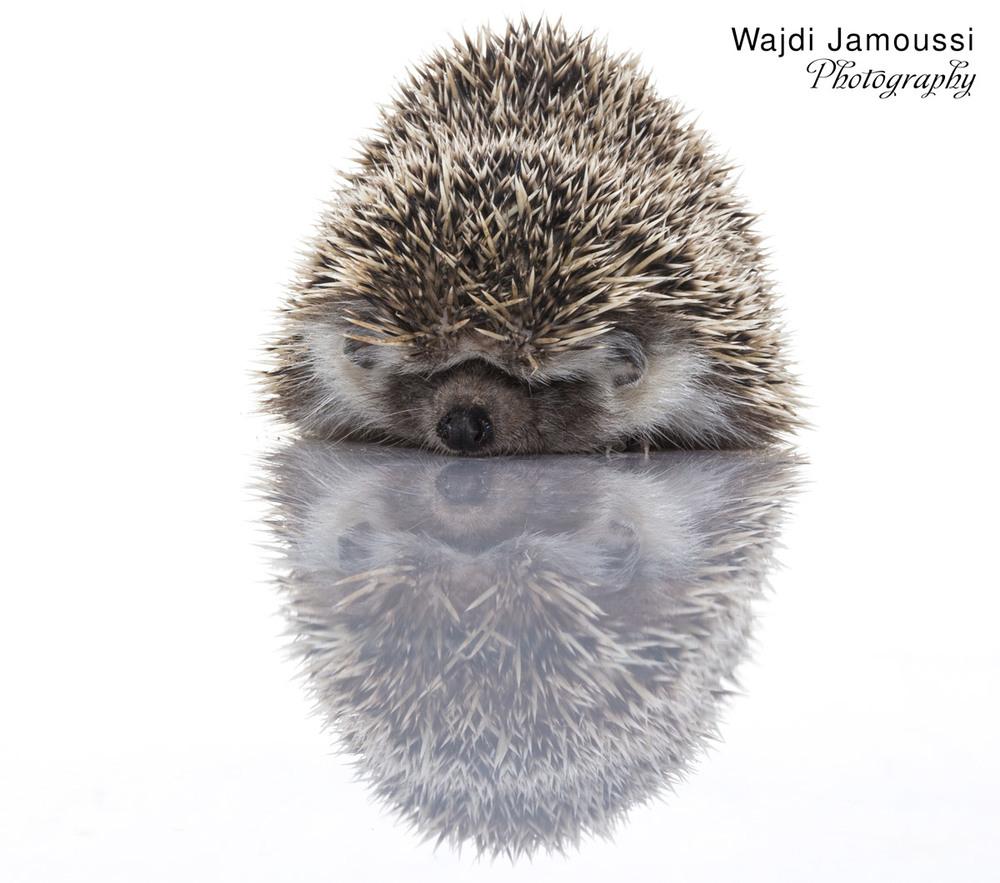 Hedgehog_2.jpg