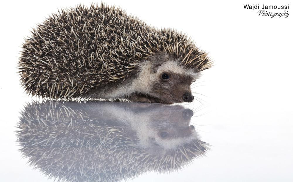 Hedgehog_3.jpg