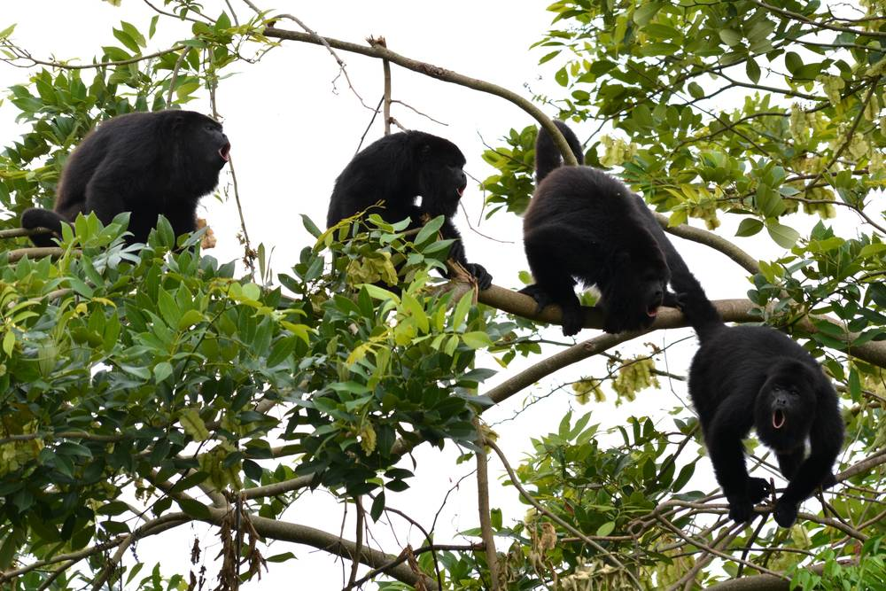 Howler Monkey Program