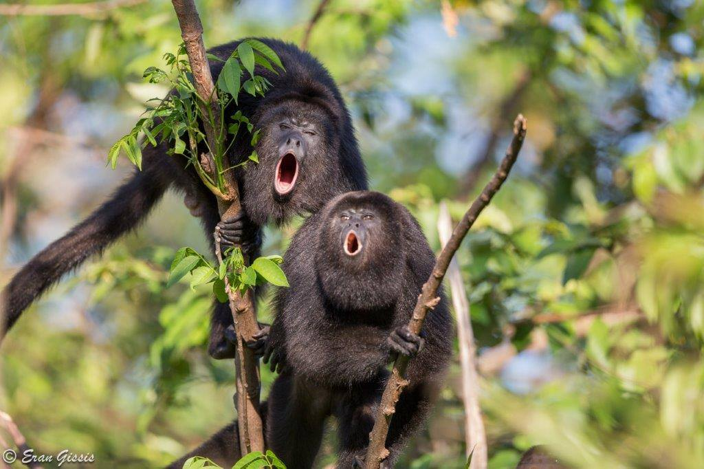 howler monkey program wildtracks