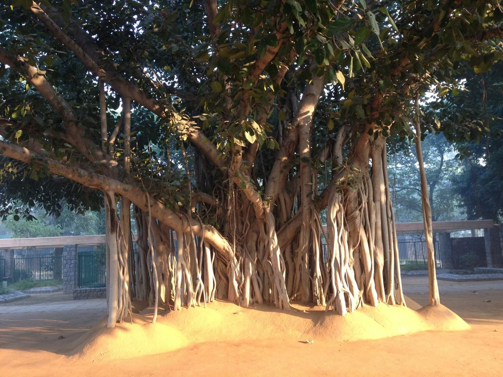The banyan tree at the entrance to the Sanskriti Kendra