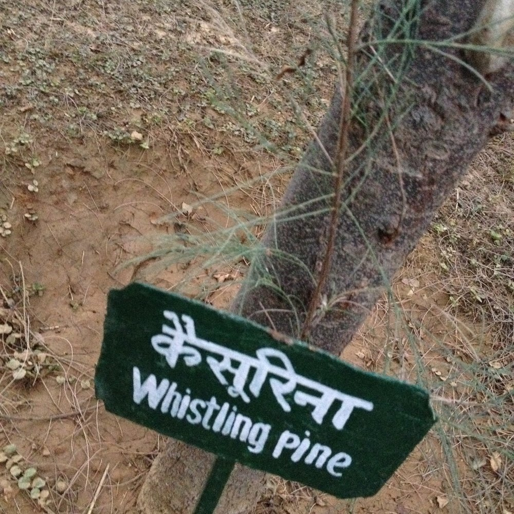 Whistling Pine tree labeled in Hindi and English