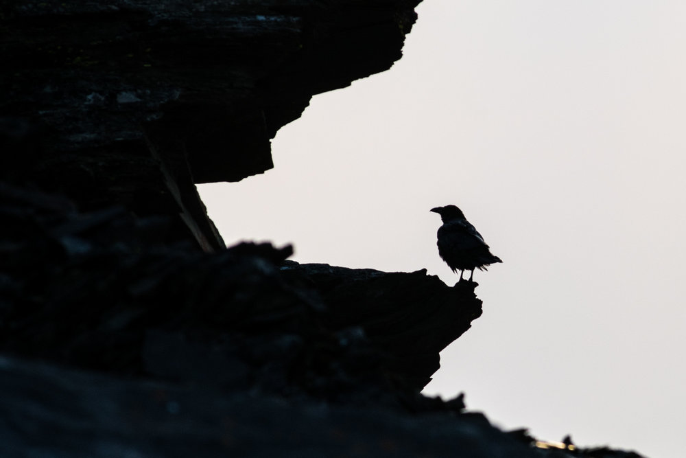 A common crow exploring the crevices in the rocks on the summit of Whistlers Peak in Jasper National Park, Alberta.