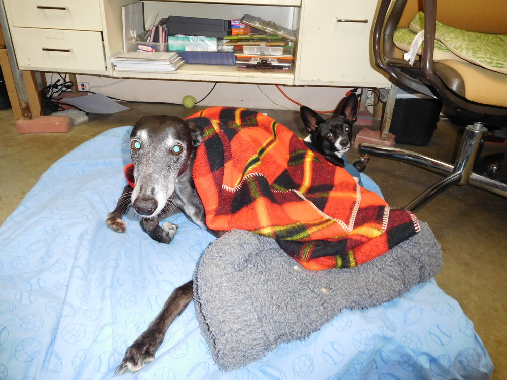 Grace & Oreo, taken for adoption by Ohio Greyhound Rescue
