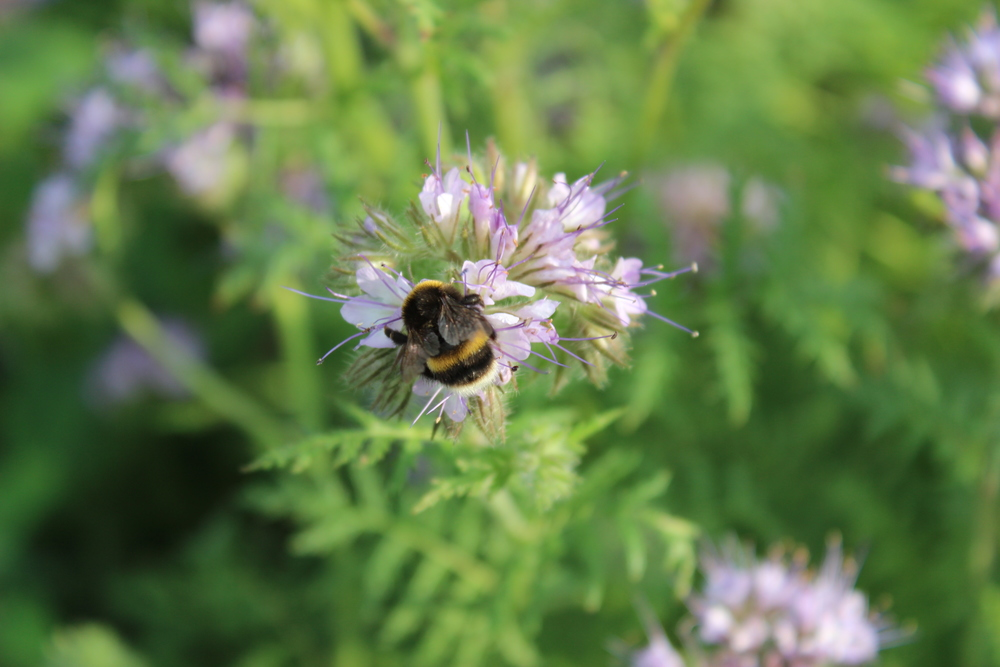 Bee on phacelia flower