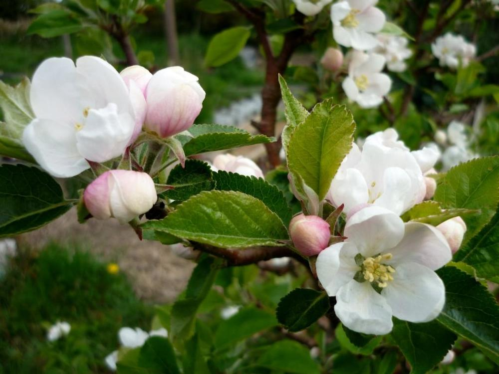 8apple blossom close up.jpg