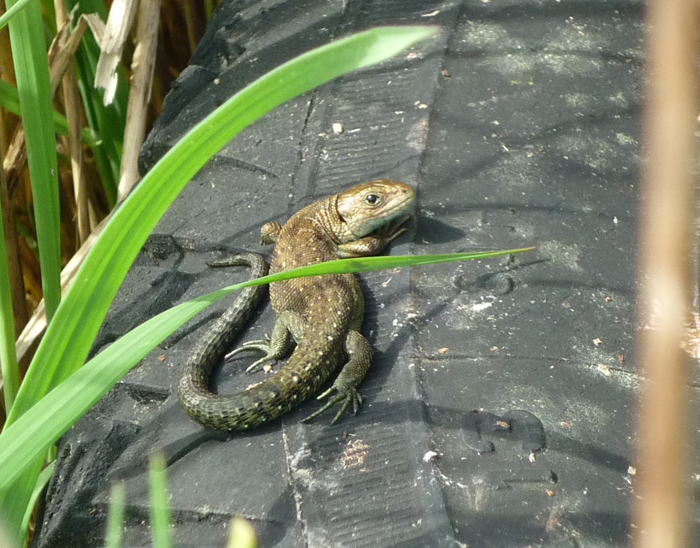 Common Lizard for web.jpg