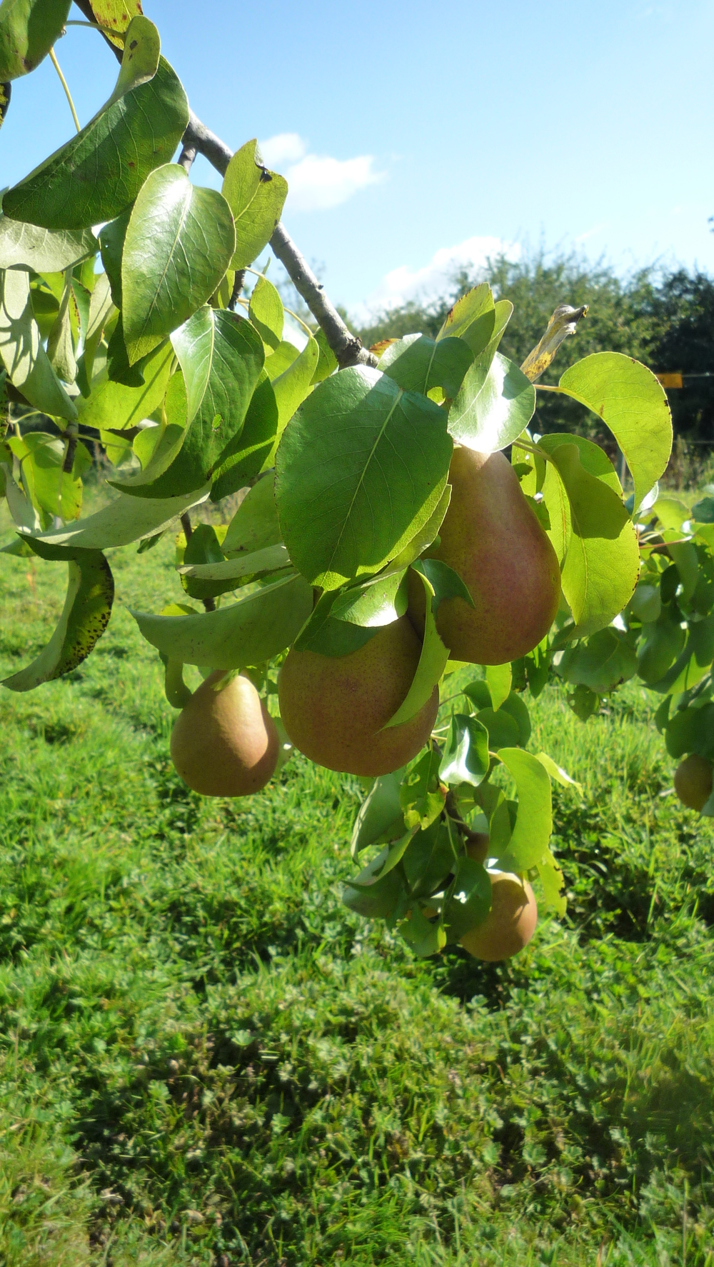 close up of pears.JPG