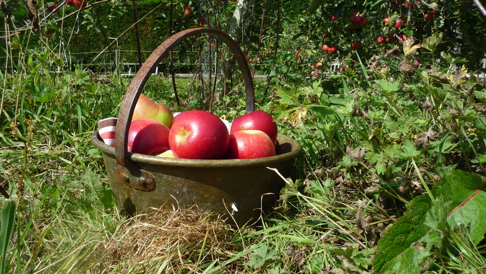 red apples in basket.JPG