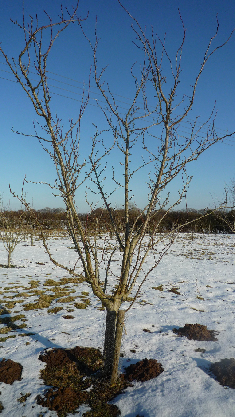 orchard in snow.jpg