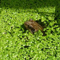 frog at the allotment.jpg
