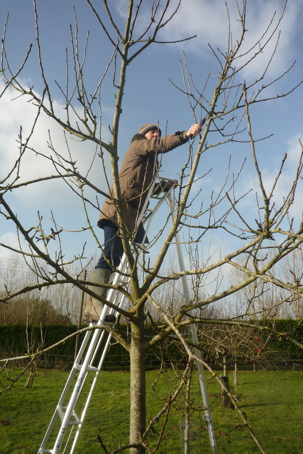 Pruning Standard Apple Tree