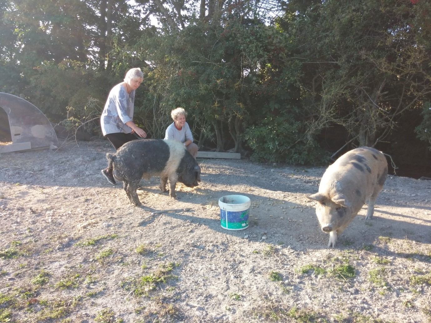 pigs at baulcombes