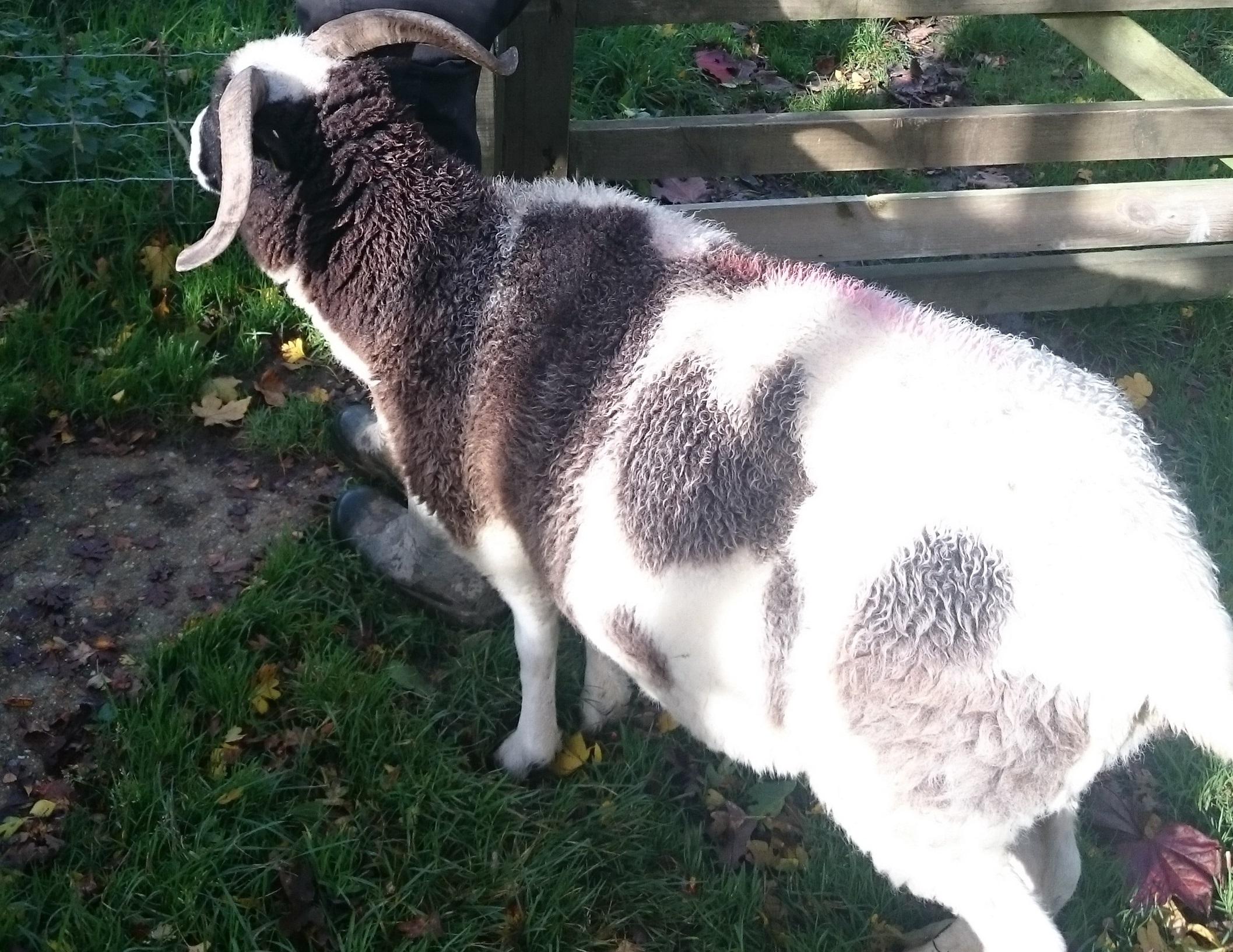 shetland sheep baulcombes