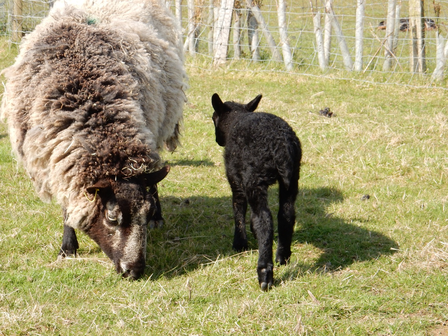 ewe and lamb baulcombes