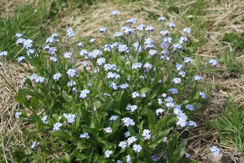 Forget me not in flower