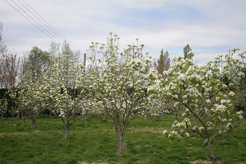 Pears in blossom