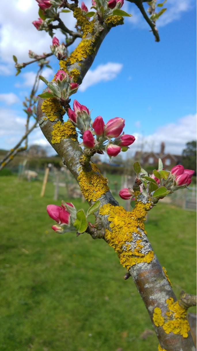 Apple blossom in the orchard at Baulcombes Barn