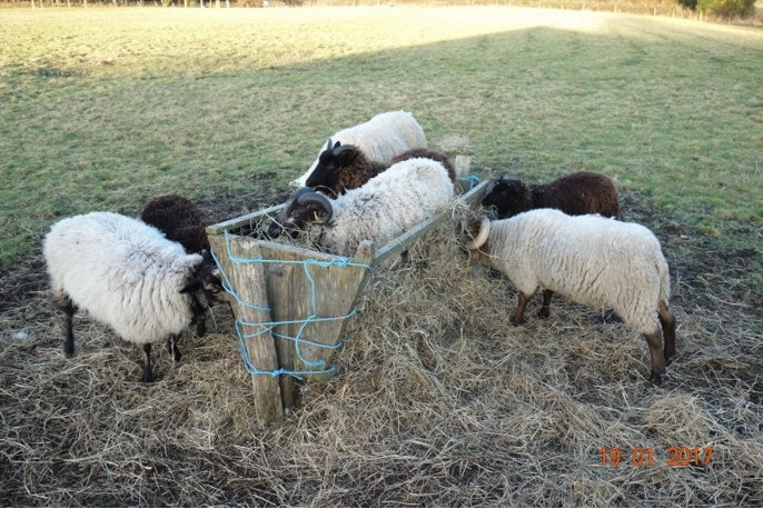 Rams enjoy a feed of hay, 2 have jumped into the feeding trough