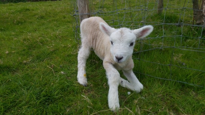 Hours old lamb sorting out its long legs
