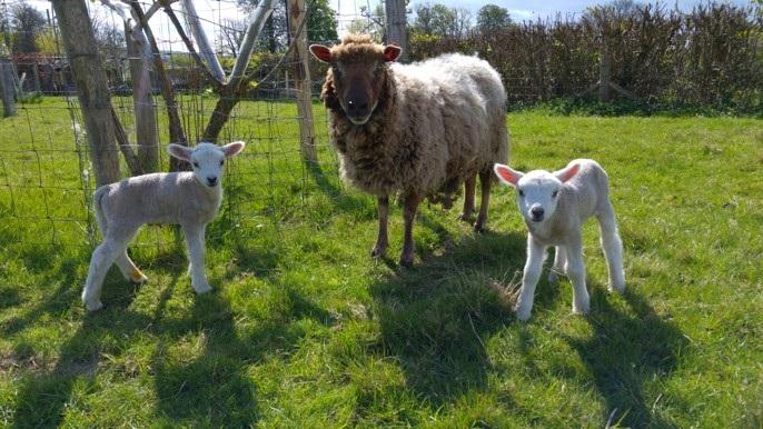 New born Shetland lambs