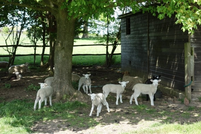 Spring lambs enjoying the shade