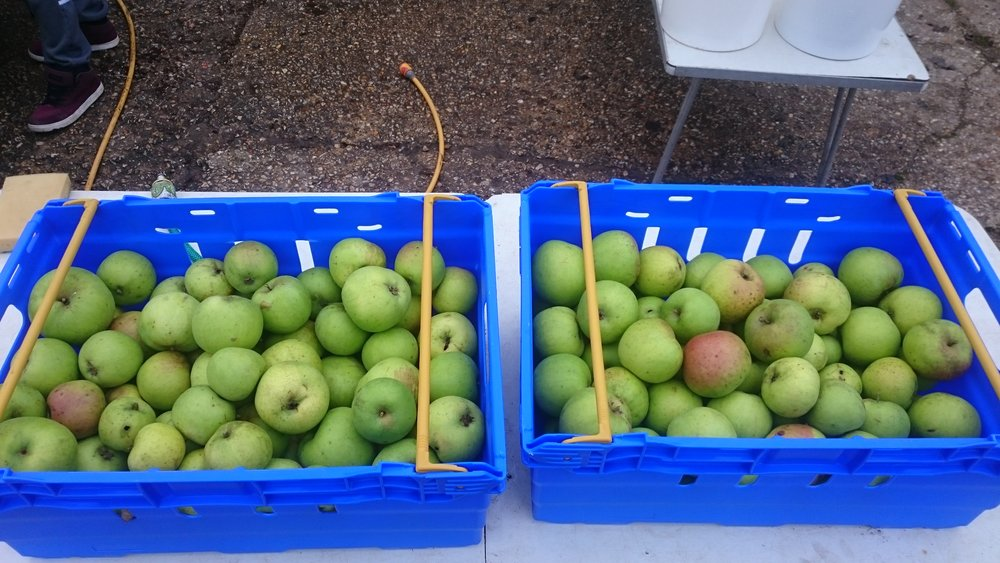 Edward VII apples picked at Ringmer Community Orchard