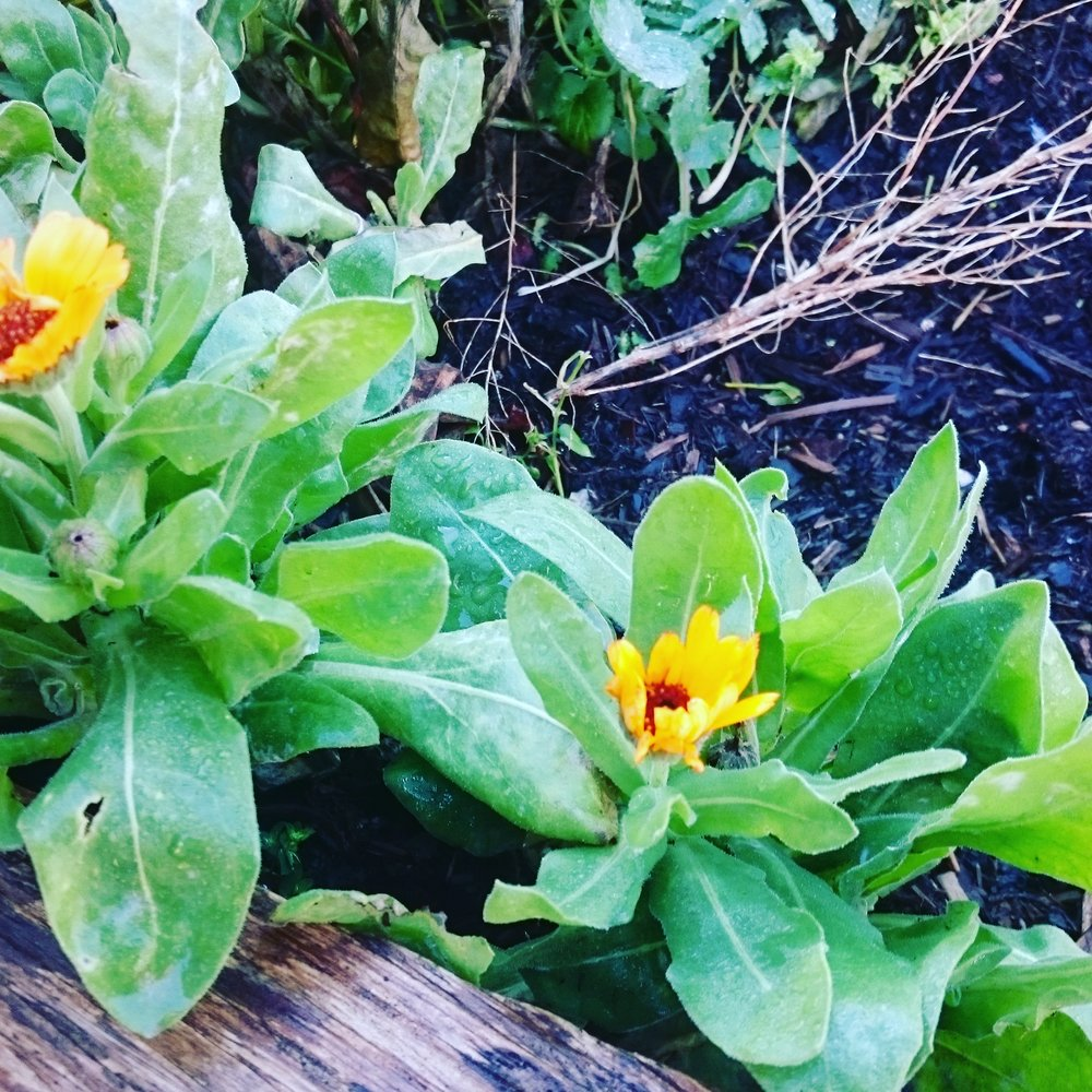 Marigolds in the raised beds