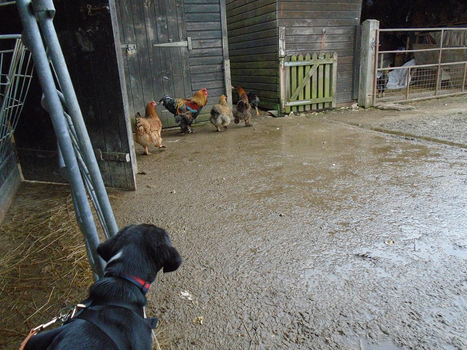Dottie looking at the chicken